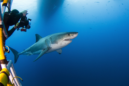 guadalupe island: Underwater photographer taking a photograph of a male great white shark, Guadalupe Island, Mexico.