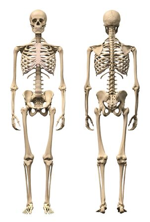 Anatomy of male human skeleton, front view and back view.