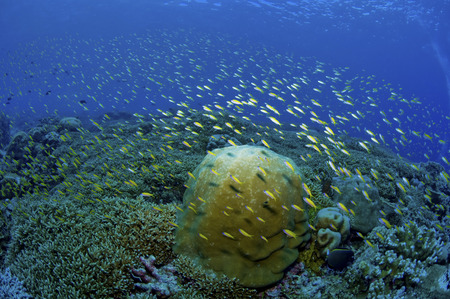 hard coral: Colourful reef scene with yellow fish and green staghorn coral, Christmas Island, Australia. LANG_EVOIMAGES