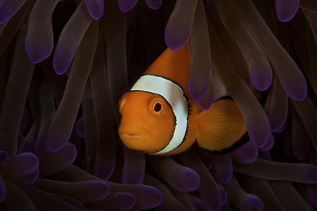 false percula: False Ocellaris Clownfish in its host anemone, Papua New Guinea.