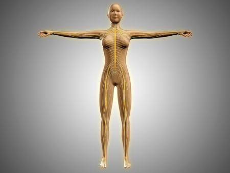 Anatomy of female body with nervous system. LANG_EVOIMAGES
