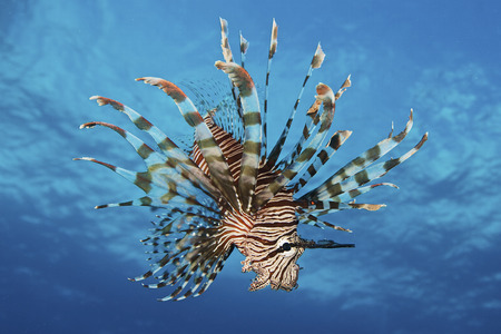 scorpionfish: Lionfish displays its poisonous spines, Fiji. LANG_EVOIMAGES