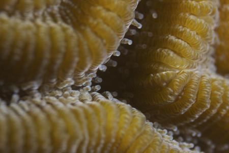 Hard coral polyps at 5x life size, Bonaire, Caribbean Netherlands.