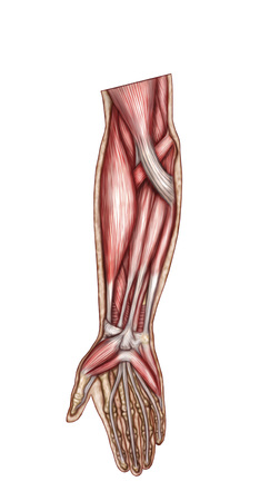 Anatomy of human forearm muscles, superficial anterior view. LANG_EVOIMAGES