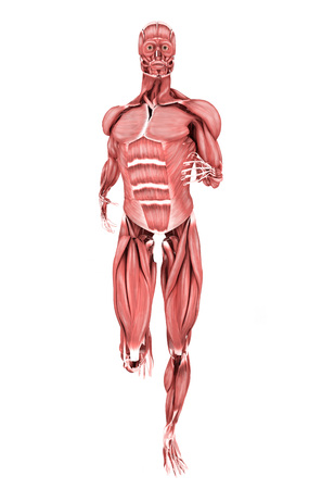 external oblique muscle stock photos & pictures. royalty free, Human Body