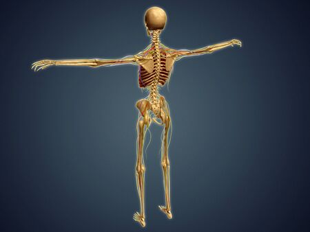Back view of human skeleton with nervous system, arteries and veins.