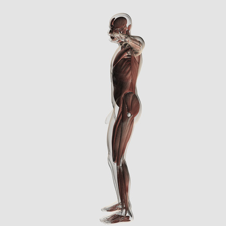 Anatomy of male muscular system, side view.