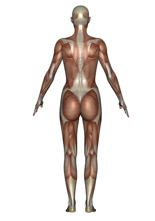 Anatomy of female muscular system, back view.