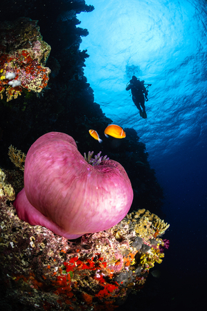 pink anemonefish: Diver and magnificent anemone, Fiji. LANG_EVOIMAGES