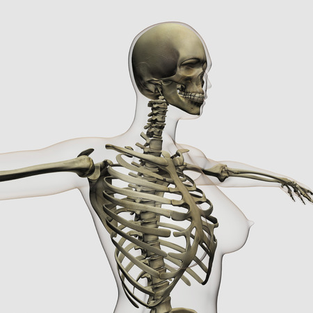 axial: Three dimensional view of female rib cage and skeletal system.