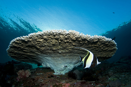 Reef scene with corals and fish, Komodo, Indonesia.