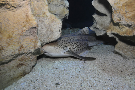 cartilaginous: Leopard Shark, Blue Zoo Aquarium, Beijing, China. LANG_EVOIMAGES
