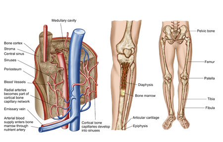 Anatomy of human bone marrow.