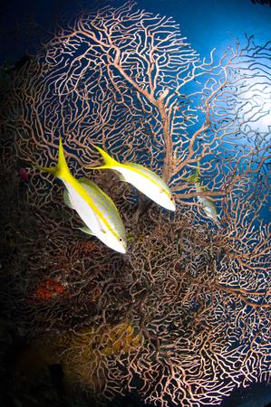 gorgonian sea fan: Yellowtail snappers and sea fan, Belize.