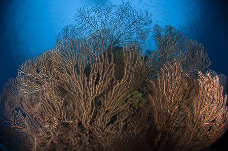 gorgonian sea fan: Sea fan seascape, Belize.
