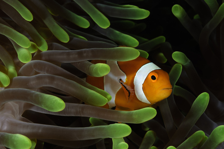 percula: Clownfish in green anemone, Indonesia.
