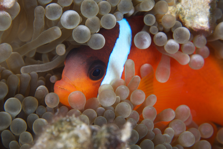 polyp: Cinnamon Clownfish (Amphiprion melanopus) in its host anemone.