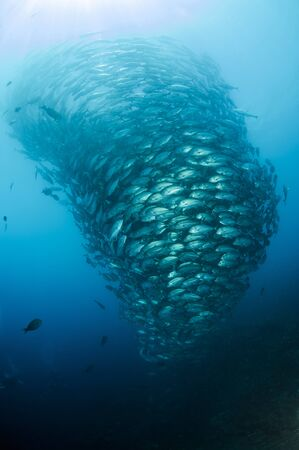 jacks: School of Jacks, Indonesia.