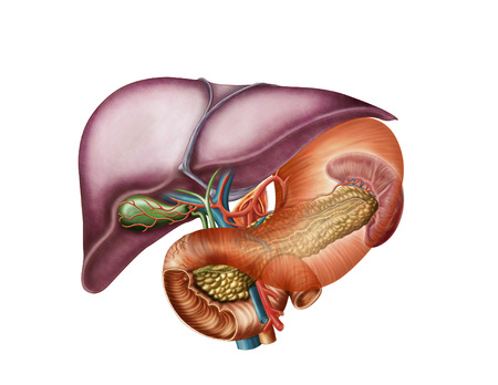 Anatomy of liver, antero-visceral view. LANG_EVOIMAGES