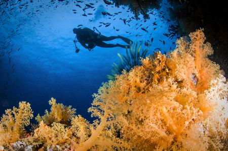 Diver swimms above soft coral, Fiji.