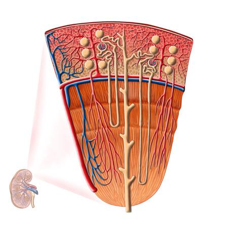 Anatomía de la función renal humana.