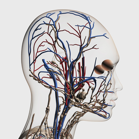 Medical illustration of head arteries, veins and lymphatic system, side view. LANG_EVOIMAGES