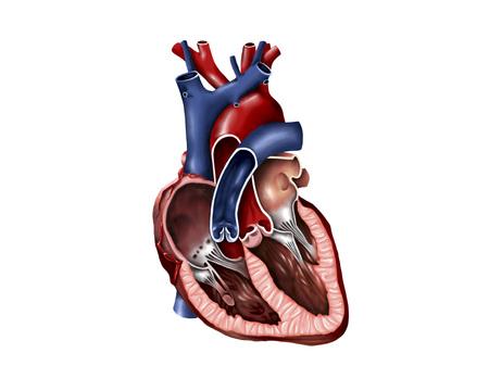 superior vena cava: Cross section of human heart.