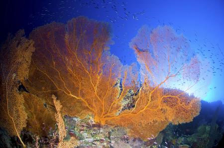gorgonian sea fan: Orange gorgonian sea fan, Christmas Island, Australia.