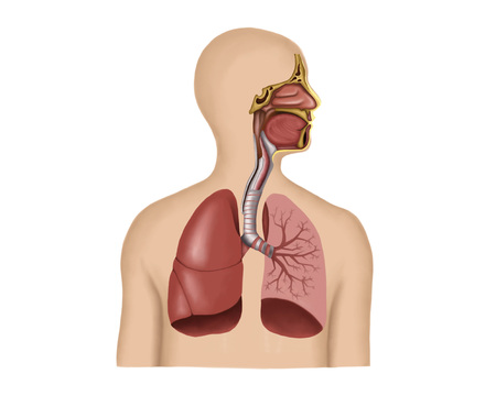 Anatomy Of Human Respiratory System Stock Photo Picture And