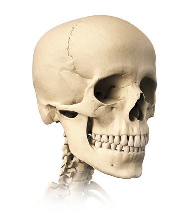 Anatomy of human skull, side view.