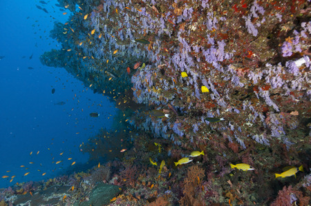 Colourful reef with purple and red hard and soft coral and orange anthias and blue-lined yellow snapper fish, Ari and Male Atoll, Maldives. LANG_EVOIMAGES