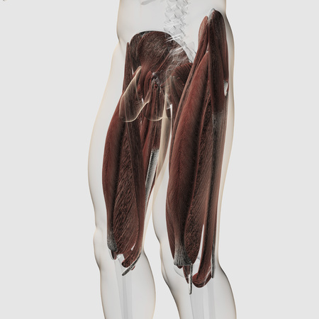 Male muscle anatomy of the human legs, side view.