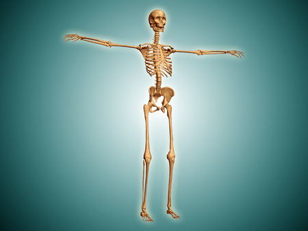 Perspective view of human skeletal system. LANG_EVOIMAGES