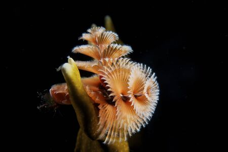 Christmas Tree Worm in fire coral, Bonaire, Caribbean Netherlands.