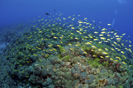 hard coral: Colourful reef scene with yellow fish and green hard coral, Christmas Island, Australia.