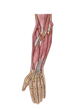 Anatomía De Los Músculos Del Antebrazo Humano, Vista Anterior ...