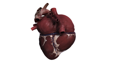 Three dimensional view of human heart, back.