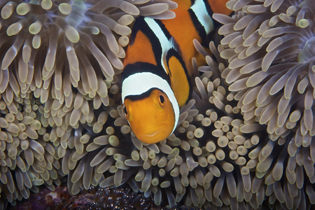 A female clownfish looks after her eggs at the edge of the host anemone, Papua New Guinea. LANG_EVOIMAGES