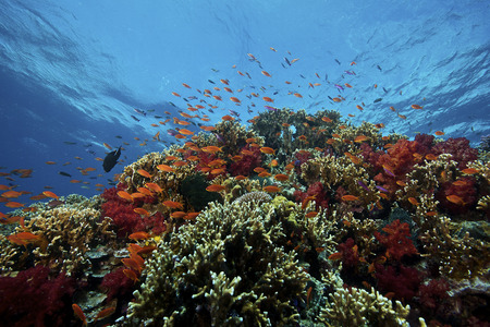 lyretail: A school of orange basslets (Pseudanthias squamipinnis) on a healthy coral reef, Fiji.