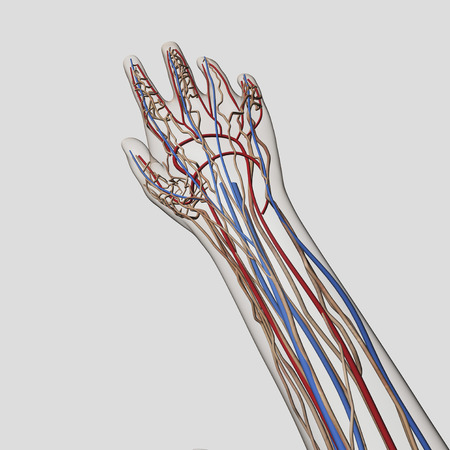 Medical illustration of arteries, veins and lymphatic system in human hand and arm. LANG_EVOIMAGES