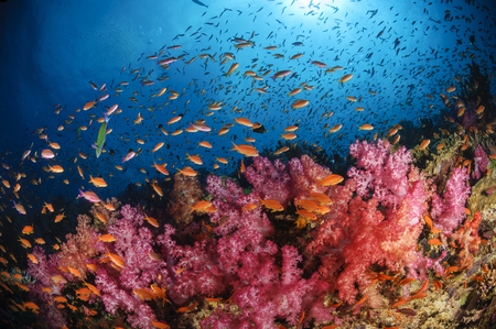 Anthias fish and soft corals, Fiji, Pacific Ocean.