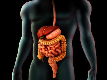 bowel: Human body and digestive system, perspective view.