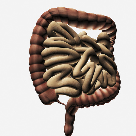 Medical illustration of the large intestine and small intestine, three dimensional view. LANG_EVOIMAGES