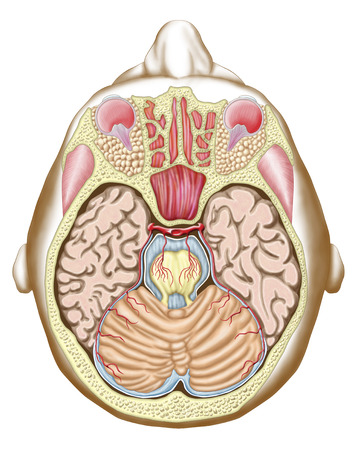 Transverse Section Of The Midbrain Stock Photo Picture And Royalty