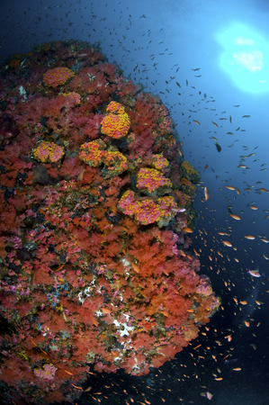 hard coral: Reef scene with corals and fish, Puerto Galera, Negros Oriental, Philippines. LANG_EVOIMAGES