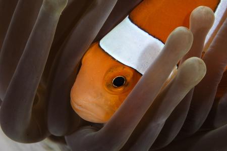 percula: Clown Anemonefish, Indonesia. LANG_EVOIMAGES