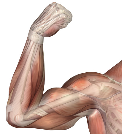 proximal: Illustration of a flexed arm showing human bicep muscle.