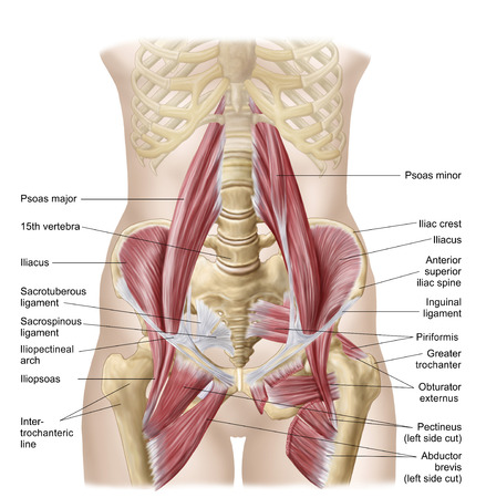 Anatomy Of Iliopsoa, Often Referred To As The Dorsal Hip Muscles ...