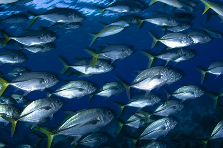 jacks: School of Jacks in motion, Belize. LANG_EVOIMAGES