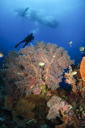 Diver swims over sea fans, Indonesia. LANG_EVOIMAGES